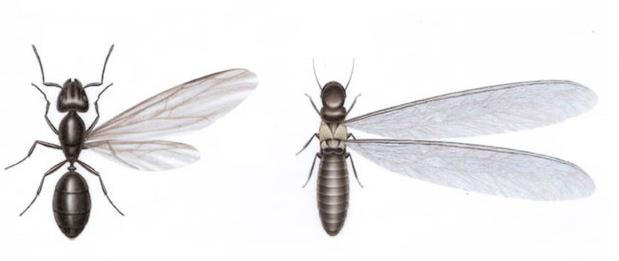 Termitas-aladas-vs-Hormigas-aladas-revista-love-talavera
