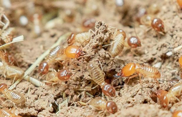 como-erradicar-termitas-carcoma-revista-love-talavera