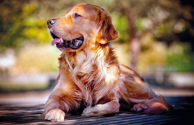 dirofilariosis-mascotas-revista-talavera-love