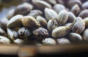semillas-autoflorecientes-alkimia-revista-love-talavera