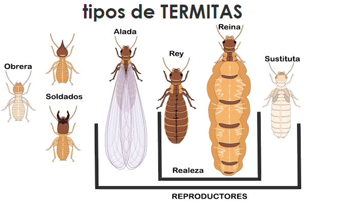 tipos-de-termita-sixsa-revista-love-talavera